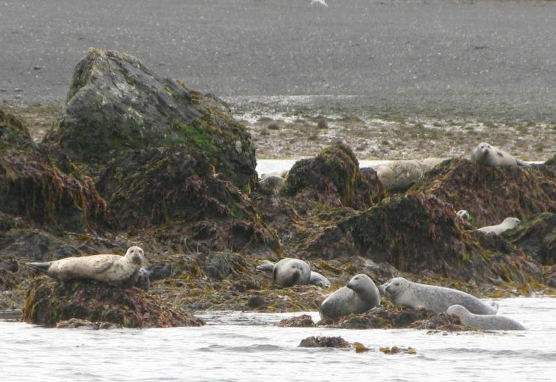 harbor seal haulout Kachemak Bay